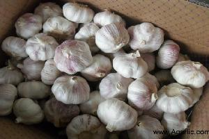 Agarlic.com normal white garlic