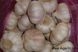www.agarlic.com normal white garlic 5.5cm 10kg/mesh bag